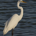 Great Egret In The Last Light Of The Day by David Watkins
