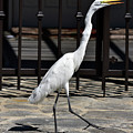 Great Egret In The Neighborhood Strutting 1 by Linda Brody