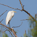 Great Egret In Tree by Ronnie Maum