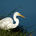 Great Egret by JS Photography