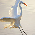 Great Egret Landing by Brian Tada