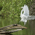 Great Egret Landing by Richard Eastman