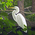 Great Egret by Lou Spina