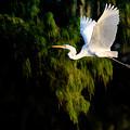 Great Egret by Matt Suess