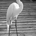 Great Egret On The Pier - Black And White by Carol Groenen