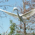 Great Egret Over The Treetops by Carol Groenen