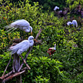 Great Egret Pair by Judy Vincent