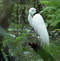 Great Egret Preening by Frank Madia