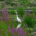 Great Egret - Purple by Donald C Morgan