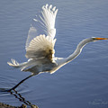Great Egret Taking Flight by Brian Tada