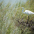 Great Egret Through Reeds by JG Thompson