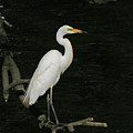 Great Egret by Tony Brown