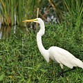 Great Egret Walking by Al Powell Photography USA
