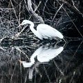 Great Egret by William Rogers