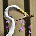 Great Egret With Lizard Who Is Holding Onto Wood by Linda Brody