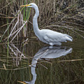 Great Egret With Reflection by William Bitman