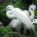 Great Egrets 10 by J M Farris Photography
