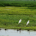 Great Egrets by Charles Trinkle