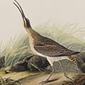 Great Esquimaux Curlew by John James Audubon