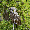 Great Gray Owl 2 by Frank Madia