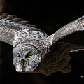Great Gray Owl In Flight by Mike Fitzgerald