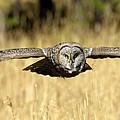 Great Gray Owl In Flight by Wildlife Fine Art
