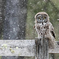 Great Gray Owl In Snowstorm by John Vose