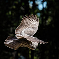 Great Gray Owl Lucky Shot 3 by Frank Madia