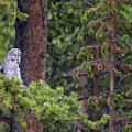 Great Gray Owl Perched by Max Waugh