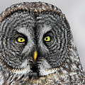 Great Gray Owl Portrait by Christopher Ciccone