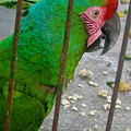 Great Green Macaw by Michele Stoehr