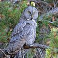 Great Grey Owl by Brad Christensen