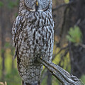 Great Grey Owl by Brian Wartchow