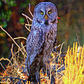 Great Grey Owl Impressions by Greg Norrell