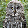 Great Grey Owl by Phil Banks