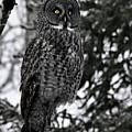 Great Grey Owl Portrait by Larry Ricker