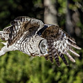Great Grey Owl  by Wes and Dotty Weber