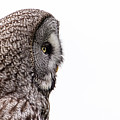 Great Grey's Profile On White by Torbjorn Swenelius