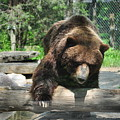 Great Grizzly's by Chrystal Darnell