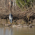 Great Heron And Turtles  by Ruth Housley