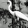 Great Heron by Dale Chapel