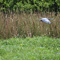 Great Heron In Flight 2 by Ruth Housley