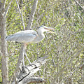Great Heron With Mouth Open by Ruth Housley