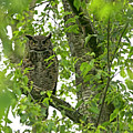 Great Honed Owl On Tree Branch by Sharon Talson