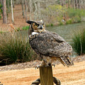Great Horned Owl 1 by Robert Meanor