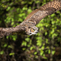 Great Horned Owl-2419 by Steve Somerville