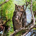 Great Horned Owl by Arthur Dodd