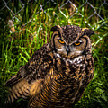 Great Horned Owl by Blake Webster