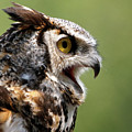 Great Horned Owl - Calling Out by Sue Harper