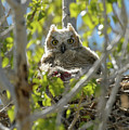 Great Horned Owl Chick by Richard Eastman